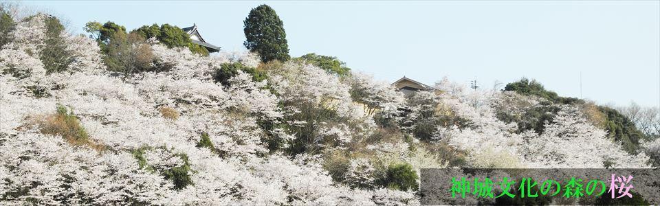 神城文化の森の桜