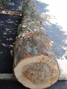 ナギの木(杢入り)共木 御神木