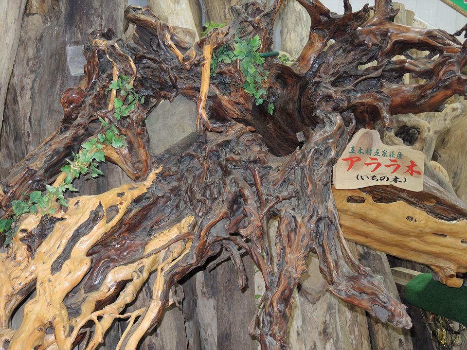アララギ(一位)の根っこ 樹齢500年 御神木 熊本県人吉五木村産
