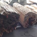 屋久杉を宮崎県小林市の柞木商店製材所で製材