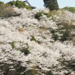 神城文化の森の桜咲く