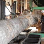 4月2日 宮崎県小林市柞木商店製材所にてケヤキの製材