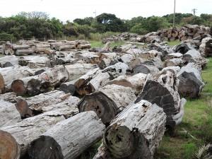 屋久杉原木