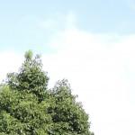 宮崎県柞木商店で平成26年度屋久杉(土埋木)の公売で購入した屋久杉の製材 3日目