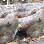 火の国熊本県のスギ(杉)樹齢200年を宮崎県小林市の柞木商店様で製材 2日目
