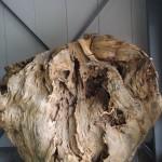 世界自然遺産登録地屋久島 屋久杉原木