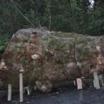 ケヤキ玉杢の樹齢800年以上の原木、盤木