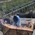 宮崎県の高原工芸にてケヤキ玉杢の樹齢800年以上の原木を製材を11月6日に製材