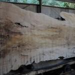 宮崎県の高原工芸にてイヌマキ原木、ベニタブの原木を製材を11月7日に製材