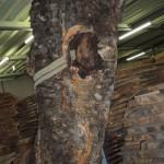 岐阜銘協で落札したケヤキ玉杢原木樹齢800年以上