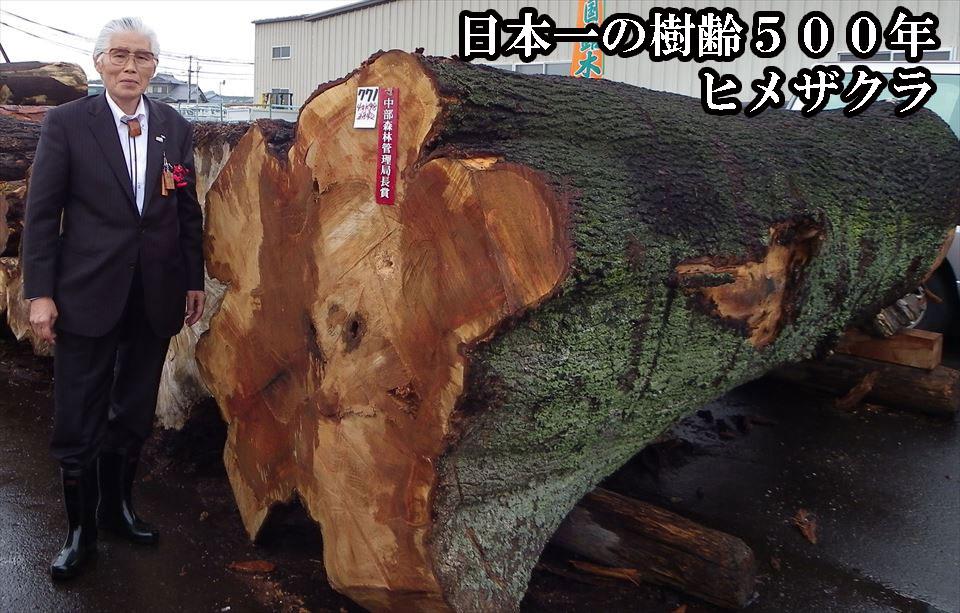 日本一の樹齢500年のヒメザクラ